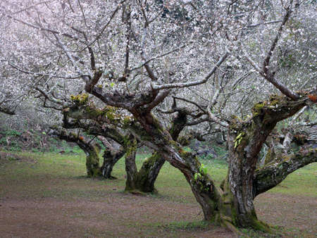 Chinese plum or Japanese apricot in nature Background.