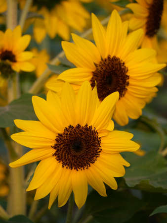 Sunflowers blooming for nature Background.