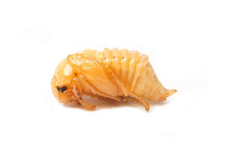 Pupa or Worm on White Background.
