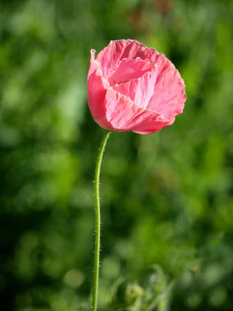 Opium Poppy flowers in nature background.