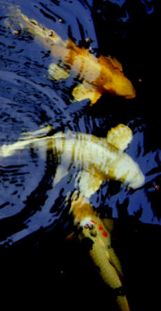Koi fis Stock Photo - 14597560