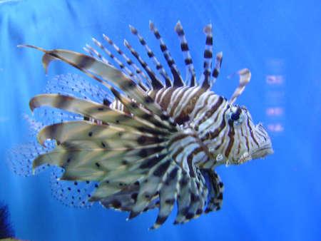 firefish: Lion Firefish