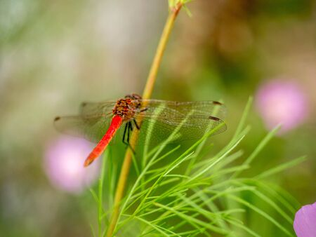 darning needle: red dragonfly