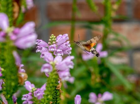 moth: Hummingbird hawk moth with flower Stock Photo