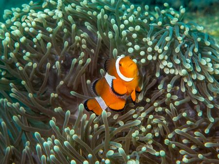ocellaris: Anemonefish Stock Photo