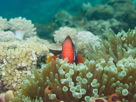 false percula clownfish: Anemone fish Stock Photo