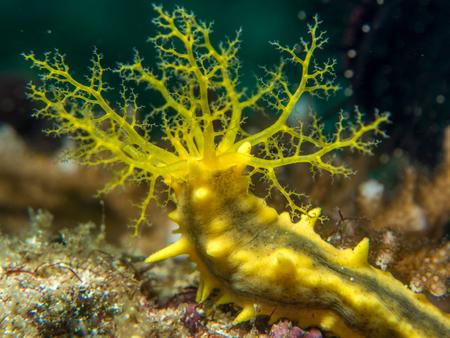 sea cucumber: yellow sea cucumber