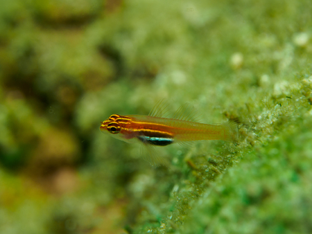 goby: small fish Stock Photo