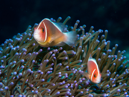 amphiprion: anemone fish with sea anemone