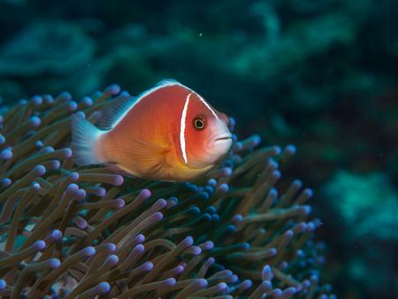 percula: anemone fish with sea anemone