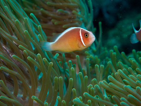 clown fish amphiprion: anemone fish with sea anemone