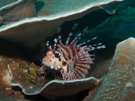 lionfish: Lionfish under the sea
