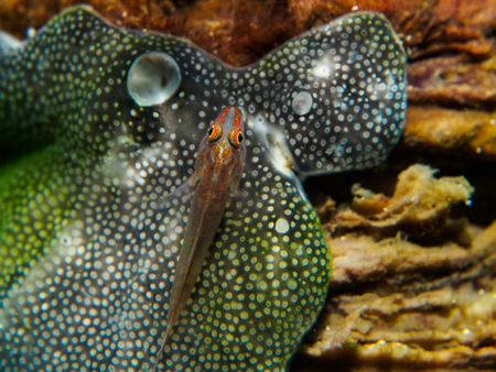 goby: gobyfish on the sea anemone Stock Photo