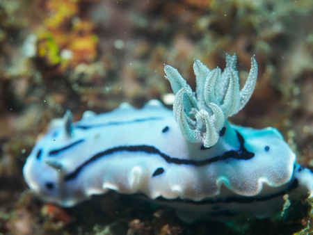 nudibranch: nudibranch at underwater, philippines Stock Photo