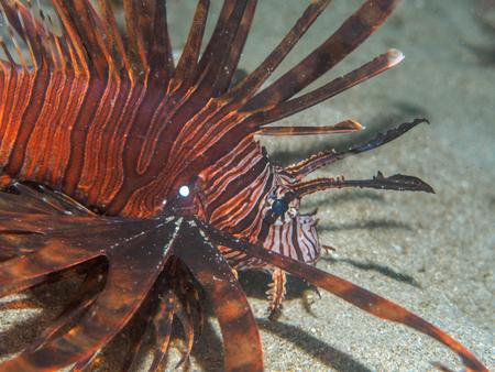 lionfish: lionfish at underwater, Philippines