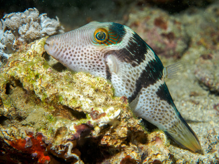pez globo: pez globo bajo el mar