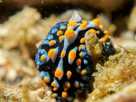 nudibranch at underwater, philippines Stock Photo