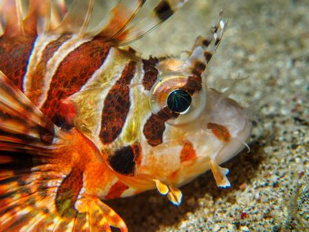 dangerous reef: lionfish at underwater, Philippines