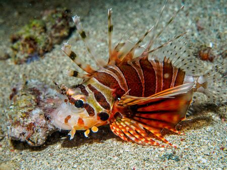 pterois: lionfish at underwater, Philippines