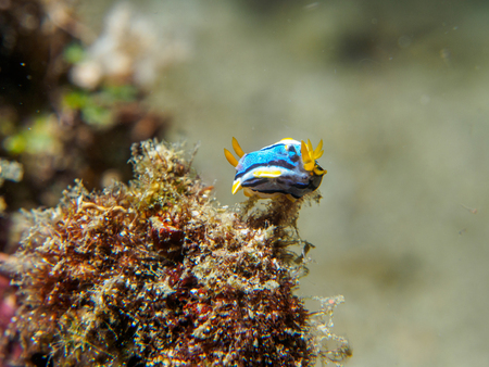sea slug: nudibranch at underwater, philippines Stock Photo