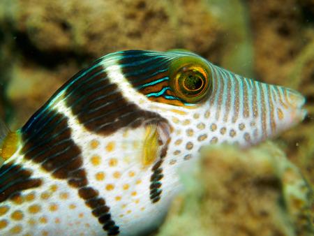 blowfish under the sea
