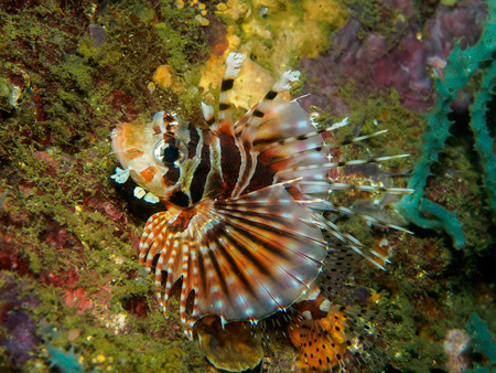 common lionfish: lionfish at underwater, Philippines