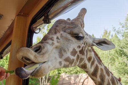 long nose: Giraffe in the Park