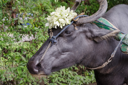 Carabao - water buffalo native to the Philippines