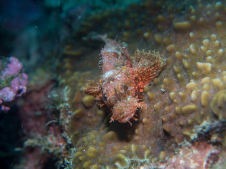 scorpion fish on the coral at underwater, Philippines