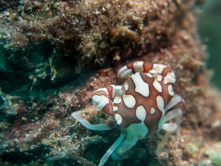 Porcelain Anemone Crab at sea anemone, Philippines Stock Photo