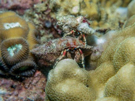 Hermit crab at underwater, Philippines Stock Photo
