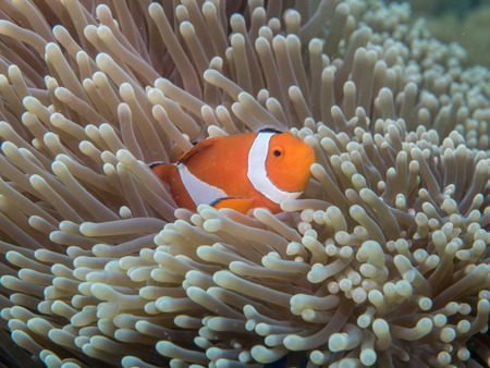 amphiprion: Anemone fish at under the sea, Philippines