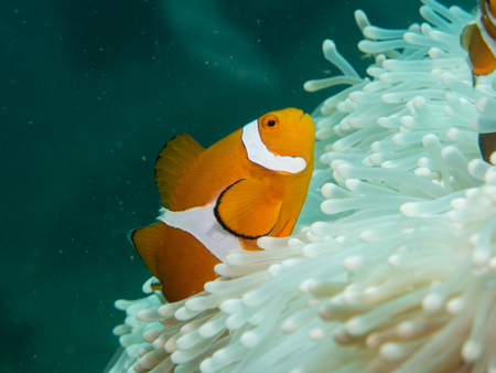 indo: Anemone fish at under the sea, Philippines