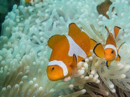 Anemone fish at under the sea, Philippines