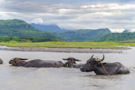 Philippines water buffalo carabao at the river
