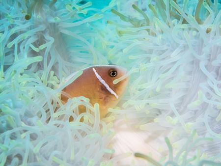 false percula: Anemonefish at anemone , Philippines Stock Photo