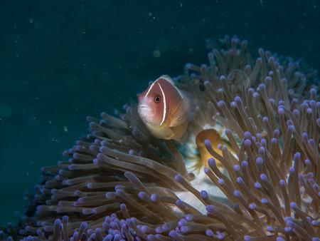Anemonefish at anemone , Philippines Stock Photo