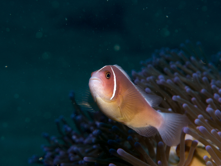 indo: Anemonefish at anemone , Philippines Stock Photo