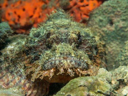 stonefish: stonefish on the coral, Philippines Stock Photo