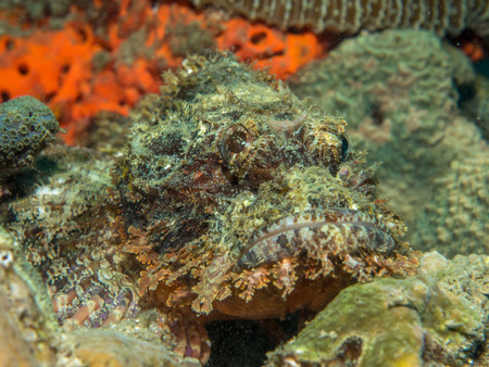 stonefish on the coral, Philippines Stok Fotoğraf