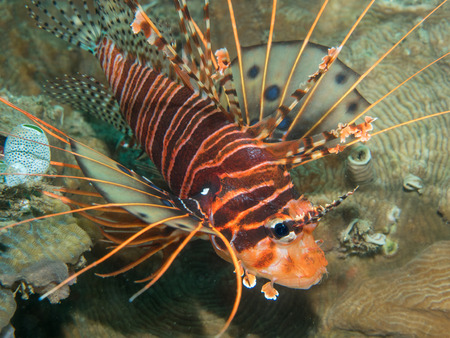 lionfish on the coral, Philippines