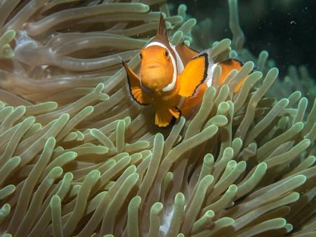 Anemonefish with anemone under water, Philippines