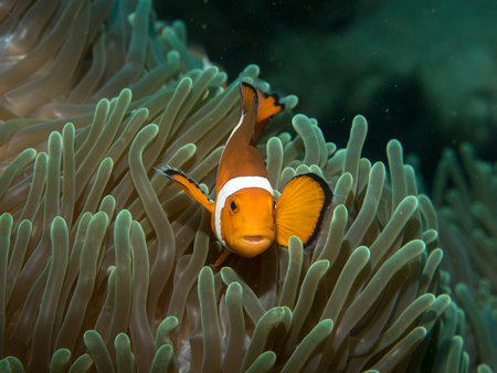 amphiprion: Anemonefish with anemone under water, Philippines