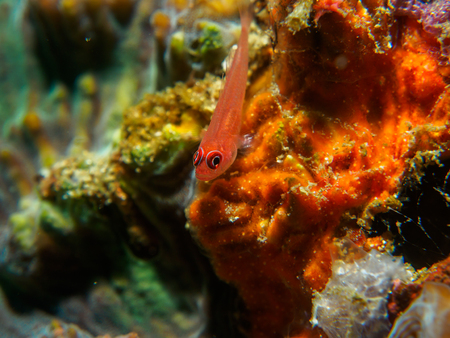 goby fish on the coral , Philippines