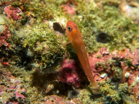 Goby fish on the sand bottom, Philippines