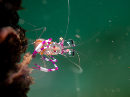 Common (glass) shrimp at Anemone, Anilao, Philippines Zdjęcie Seryjne