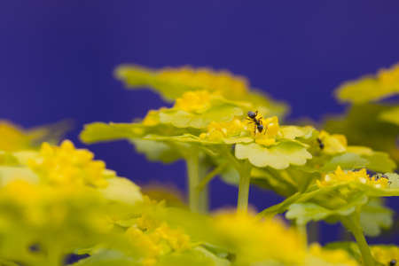 Ants in yellow flowers