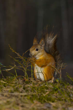 Squirrel in the forest keeps a nut in its paws