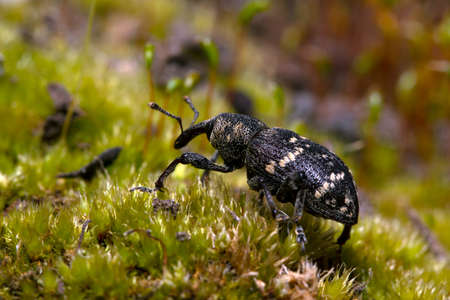 Weevil closeup with great eyes, Green moss