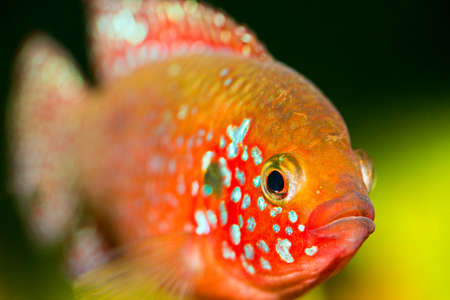 freshwater aquarium plants: Beautiful gold fish underwater ???????? ?????????? ????? ??? ????? Stock Photo